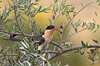 'Great Spotted Cuckoo (Clamator glandarius) carryi