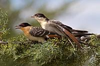 'Great Spotted Cuckoo (Clamator glandarius) pair m