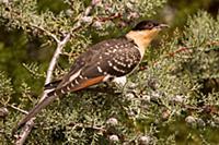 'Great Spotted Cuckoo (Clamator glandarius), Casti