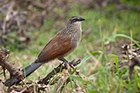 'White-browed Coucal (Centropus superciliosus), Ma