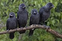 'Eurasian Jackdaw (Corvus monedula) juveniles, Cas
