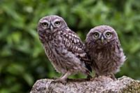 'Little Owl (Athene noctua), Castile-La Mancha, Sp