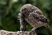 'Little Owl (Athene noctua) with rodent prey, Cast