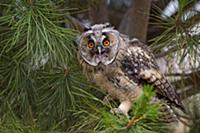 'Long-eared Owl (Asio otus), Castile-La Mancha, Sp