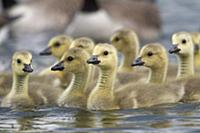 'Canada Goose (Branta canadensis) chicks swimming