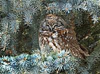 'Boreal Owl (Aegolius funereus), Saskatchewan, Can