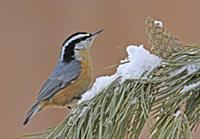 'Red-breasted Nuthatch (Sitta canadensis), Saskatc