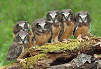 'Northern Saw-whet Owl (Aegolius acadicus) chicks,