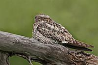 'Common Nighthawk (Chordeiles minor), Saskatchewan