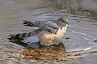 'Sharp-shinned Hawk (Accipiter striatus), Saskatch