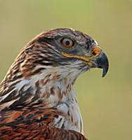 'Ferruginous Hawk (Buteo regalis), Saskatchewan, C