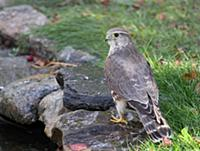 'Merlin (Falco columbarius), Saskatchewan, Canada'