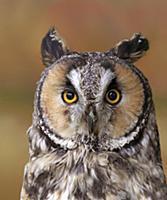 'Long-eared Owl (Asio otus), Saskatchewan, Canada'