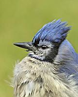 'Blue Jay (Cyanocitta cristata), Saskatchewan, Can