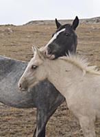 'Wild Horse (Equus caballus) yearlings, Pryor Moun