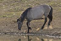 'Wild Horse (Equus caballus) mare drinking at wate
