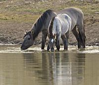 'Wild Horse (Equus caballus) mare and foal drinkin