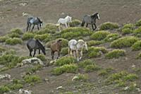 'Wild Horse (Equus caballus) herd approaching a wa