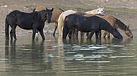 'Wild Horse (Equus caballus) herd drinking at wate