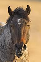 'Wild Horse (Equus caballus) stallion, Pryor Mount