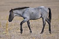 'Wild Horse (Equus caballus) foal on arid plateau,