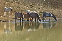 'Wild Horse (Equus caballus) family drinking at se