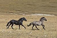 'Wild Horse (Equus caballus) stallions running tog