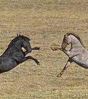 'Wild Horse (Equus caballus) stallions play fighti