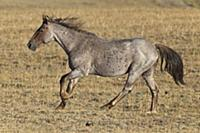 'Wild Horse (Equus caballus) stallion running on a