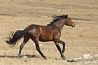 'Wild Horse (Equus caballus) stallion walking on a