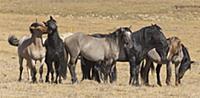 'Wild Horse (Equus caballus) stallions herd, Pryor