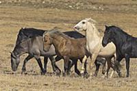 'Wild Horse (Equus caballus) stallion herd, Pryor
