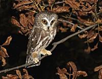 'Northern Saw-whet Owl (Aegolius acadicus) juvenil