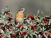 'Rose-breasted Grosbeak (Pheucticus ludovicianus),