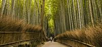 'Man bicycling through bamboo forest, Kyoto, Japan