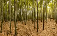 'Bamboo forest, Kyoto, Japan'