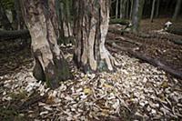 'European Beaver (Castor fiber) fresh bite marks a
