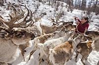 'Caribou (Rangifer tarandus) herd being fed salt a