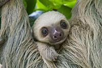 'Hoffmann's Two-toed Sloth (Choloepus hoffmanni) t