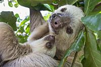 'Hoffmann's Two-toed Sloth (Choloepus hoffmanni) m