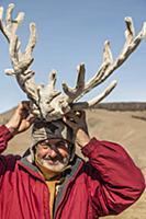 'Caribou (Rangifer tarandus) antlers covered in ve