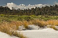 'Pingao Grass (Desmoschoenus spiralis) in sand dun