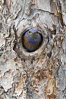 Western Bluebird (Sialia mexicana) male in nest ca