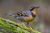 Varied Thrush (Ixoreus naevius) male, Montana