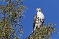 Red-tailed Hawk (Buteo jamaicensis), western Monta