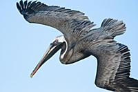 Brown Pelican (Pelecanus occidentalis) flying, Bla