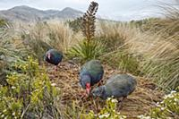 Takahe (Porphyrio hochstetteri) family in large br