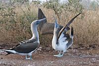 Blue-footed Booby (Sula nebouxii) sky pointing dur