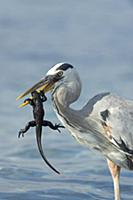 Great Blue Heron (Ardea herodias), hunting newly-h