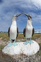 Blue-footed Booby (Sula nebouxii) pair courting, S